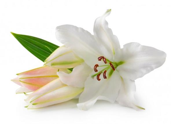 Белая лилия азиатская
