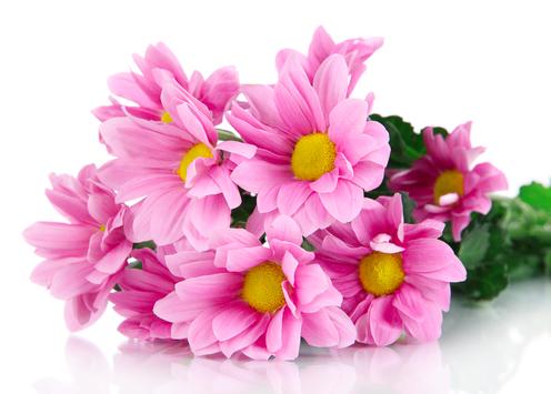 Кустовая хризантема бакарди розовая