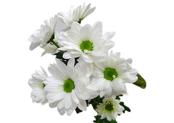 Кустовая хризантема бакарди белая, купить в Санкт-Петербурге.