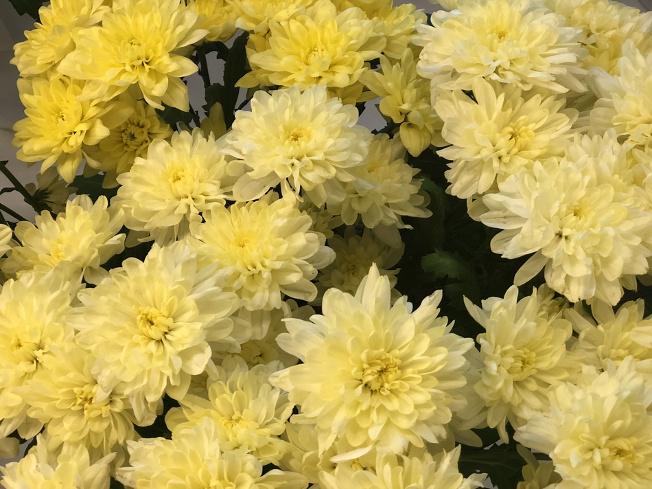 Хризантема крем 5 шт
