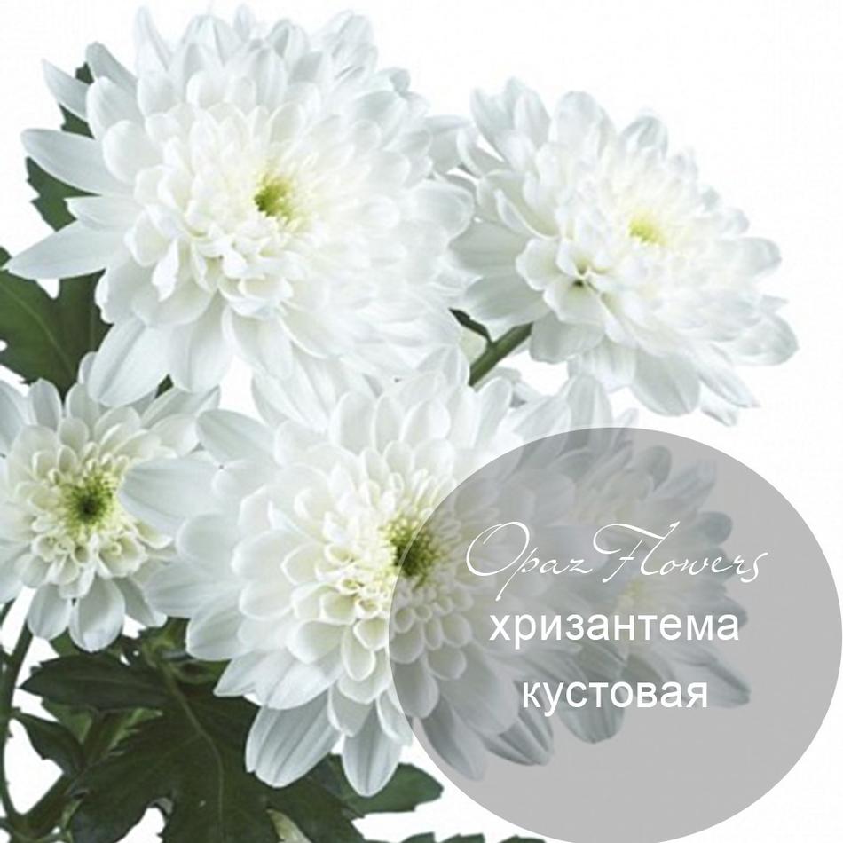 № A-1721  Хризантема кустовая.