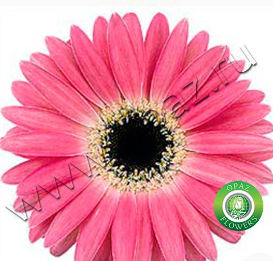 Фото цветов герберы цена