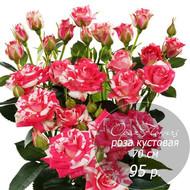 RS-23  роза кустовая 70 см
