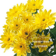 № A-1706 ARCTIC  Хризантема кустовая.