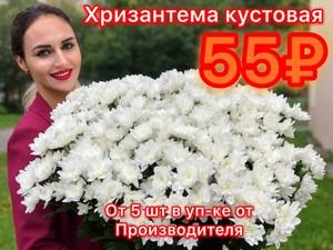 Хризантема от 5шт кустовая белая в уп-ке от производителя