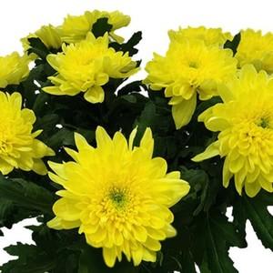 """Хризантема стандартная """"Зембла"""" желтая от 10шт"""