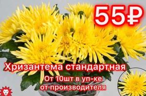 Хризантема от 10шт станандартная желтая в уп-ке от производителя