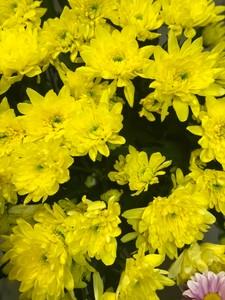 Хризантема кустовая Зембла желтая