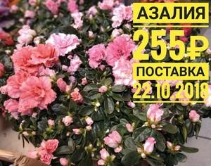 Азалия