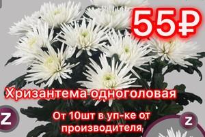 Хризантема от 10шт станандартная белая в уп-ке от производителя