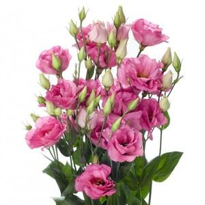 Лизиантус розовый
