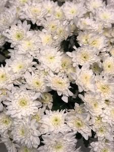 Хризантема кустовая Зембла белая миним заказ от 30шт. в пачке 5шт.