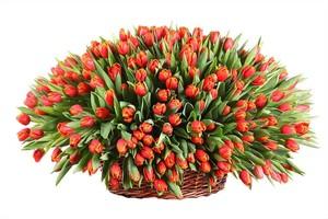 Тюльпаны 151шт № ТУ003