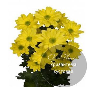 № A-1719  Хризантема кустовая.