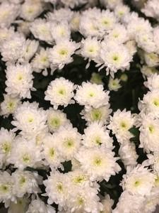 Хризантема кустовая Зембла
