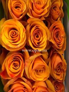"""Роза """"Тайкун"""" 70 см в упаковке от производителя"""