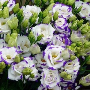 Эустома бело-фиолетовая от 10шт