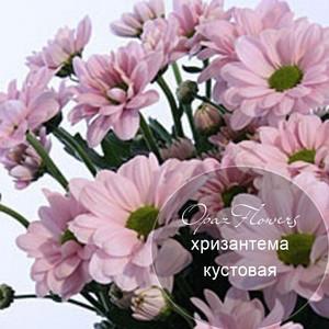 № A-1718  Хризантема кустовая.