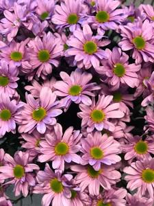 Хризантема куст розовая