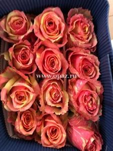 """Роза """"Фиеста"""" 50см цена за шт. 63руб. в упак 25шт. от производителя"""