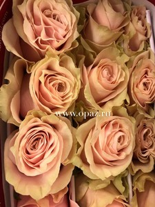"""Роза """"Пинк Мондиаль"""" 50 см в упаковке от производите"""