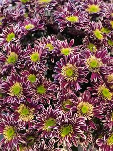 Хризантема кустовая Саба мин заказ от 30шт. в пачке 5шт