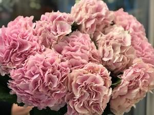 Гортензия розовая 10 шт