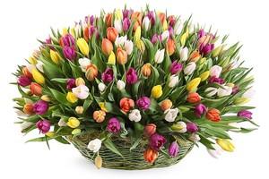 Тюльпаны 151шт № ТУ002