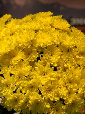 """Хризантема куст. """"Зембла"""" желтая 79руб от 15шт"""