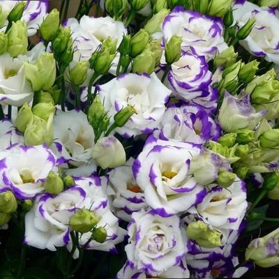 Эустома бело-фиолетовая 89руб от 10шт